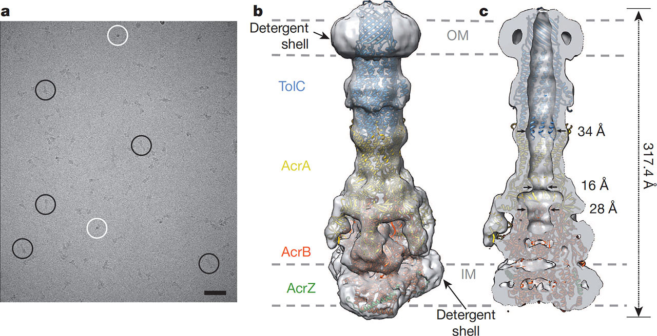 Structure of the AcrAB-TolC Multidrug Efflux Pump